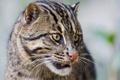 Картинка кошка, кот, морда, ©Tambako The Jaguar, fishing cat, кот рыболов, рыболов