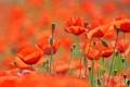 Картинка поле, цветы, природа, маки, весна, лепестки, field
