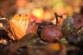 Картинка осень, макро, листва, яблоко, дары осени