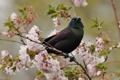 Картинка цветение, птица, ветка, вишня, гракл