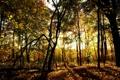 Картинка лес, солнце, свет, деревья, листва