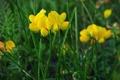 Картинка поле, лето, трава, макро, цветы, желтый, зеленый