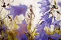 Картинка цветы, сиреневый, колокольчики, полевые