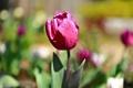 Картинка цветок, розовый, тюльпан, весна, капли воды