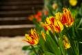 Картинка цвета, макро, цветы, природа, яркие, тюльпаны, клумба