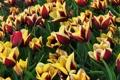Картинка растения, тюльпаны, Цветы, природа