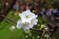 Картинка цветы, фон, ветка, белые, цветущая