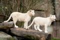 Картинка кошка, пара, бревно, львята, львёнок, белый лев