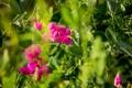 Картинка лето, трава, макро, цветы, розовый, горошек, зеленое