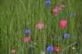 Картинка луг, поле, трава, маки, цветы