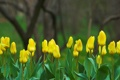 Картинка цветы, желтый, природа, фокус, весна, Тюльпаны, бутоны