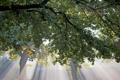 Картинка листья, свет, дерево