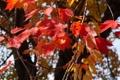 Картинка осень, листья, дерево, багрянец