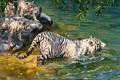 Картинка живопись, тигры, реки, Donald Grant, альбиносы