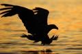 Картинка хищьник, обои, природа, фото, орёл, фон, вода