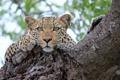 Картинка взгляд, дерево, отдых, леопард, leopard, tree, sight
