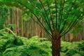 Картинка лес, деревья, папоротники, австралия