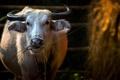 Картинка фон, сено, корова