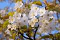 Картинка небо, дерево, весна, Яблоня, листки, цветение